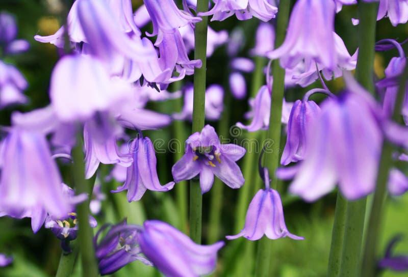 Download Bluebells stock photo. Image of blur, wildflower, gardening - 606770