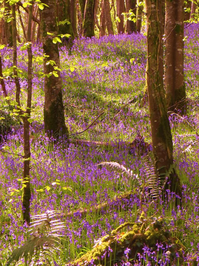 Bluebells in the Afternoon stock images
