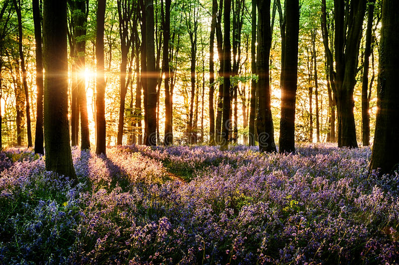 Download Bluebells Blooming In The Forest Stock Photo - Image of background, green: 33455022