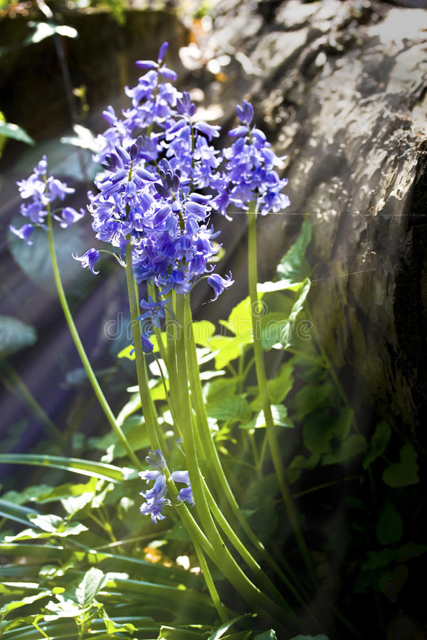 Bluebells close up with sunlight streaming through royalty free stock photography