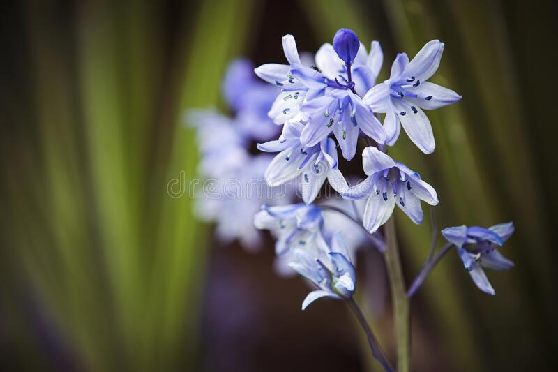 Bluebells in closeup against natural background in woodland royalty free stock photo