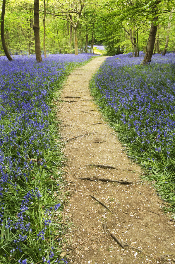 Bluebells dans le printemps images libres de droits