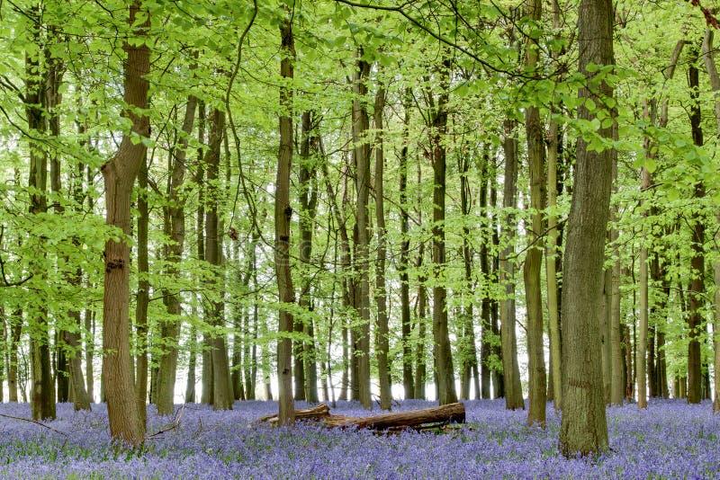 Bluebells de forêt d'Ashridge photos stock