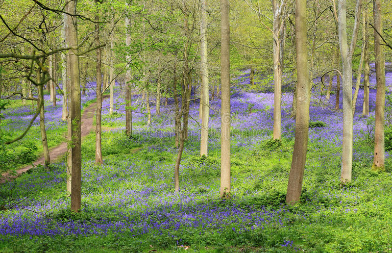 Bluebells della sorgente in un legno di faggio inglese fotografie stock libere da diritti