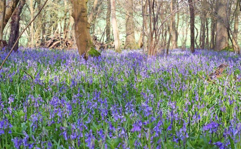 bluebells drewniani zdjęcie royalty free