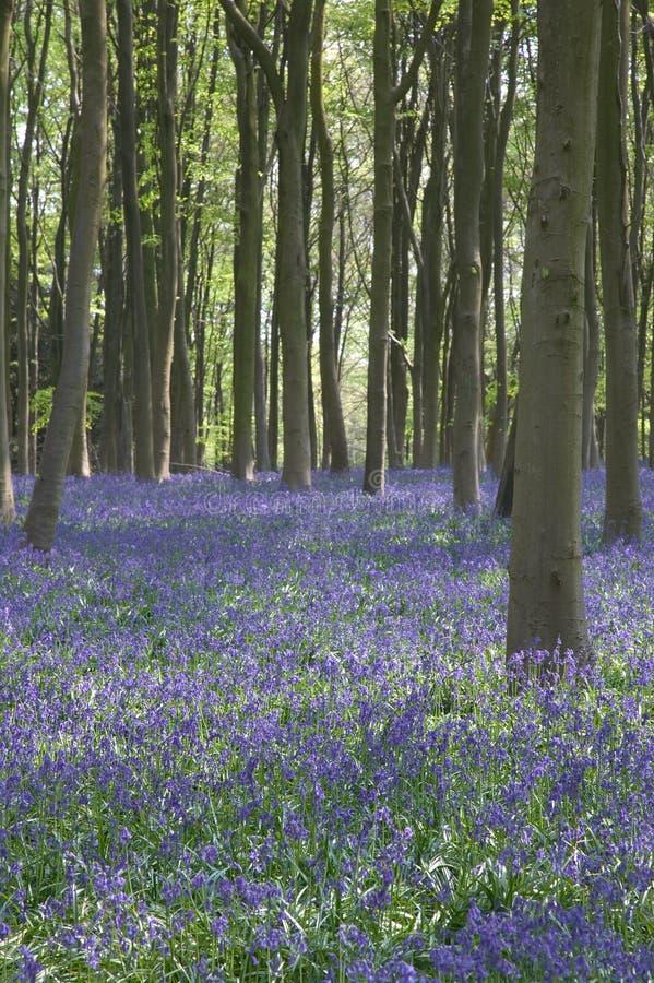 Bluebells em madeiras de Itchen fotos de stock