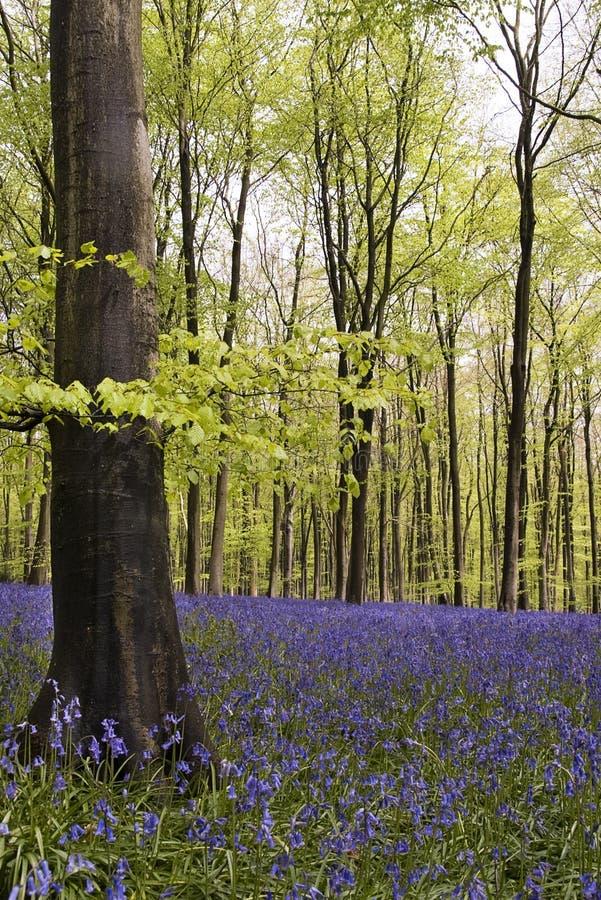 Bluebells en bois images libres de droits