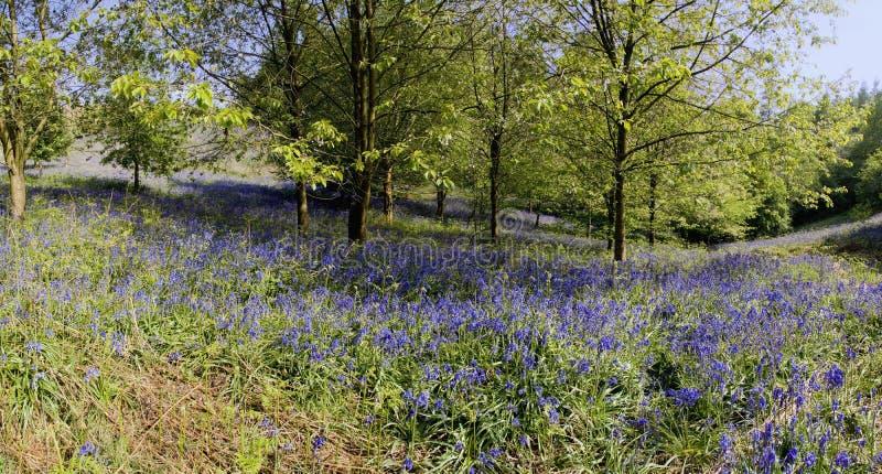 Bluebells en bois photo libre de droits