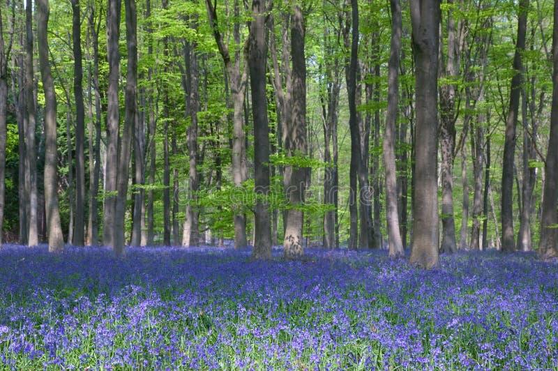 Bluebells en bois de hêtre photo stock