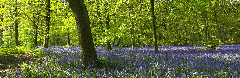 Bluebells en el bosque fotos de archivo