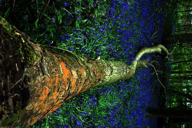 Bluebells en un bosque viejo   imagen de archivo