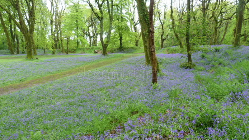 Bluebells in an English woodland royalty free stock images