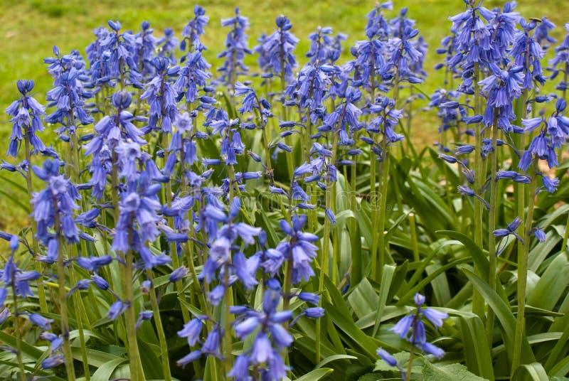 Bluebells espagnols photo stock