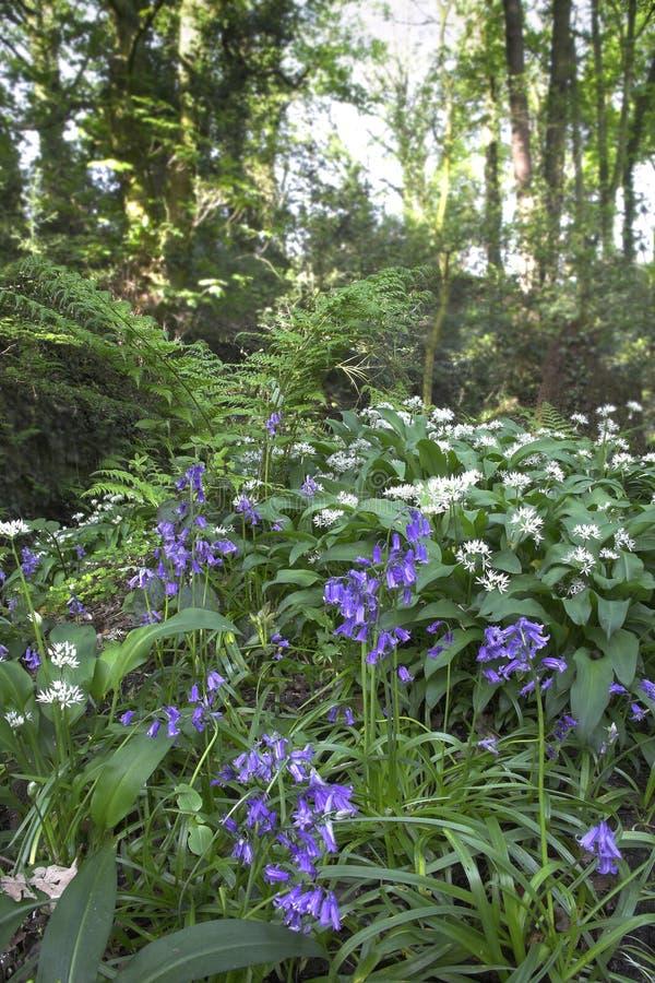 Bluebells et Ramsons photographie stock