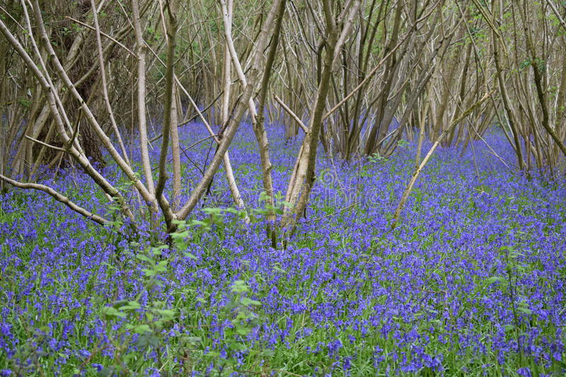 Bluebells everywhere royalty free stock images