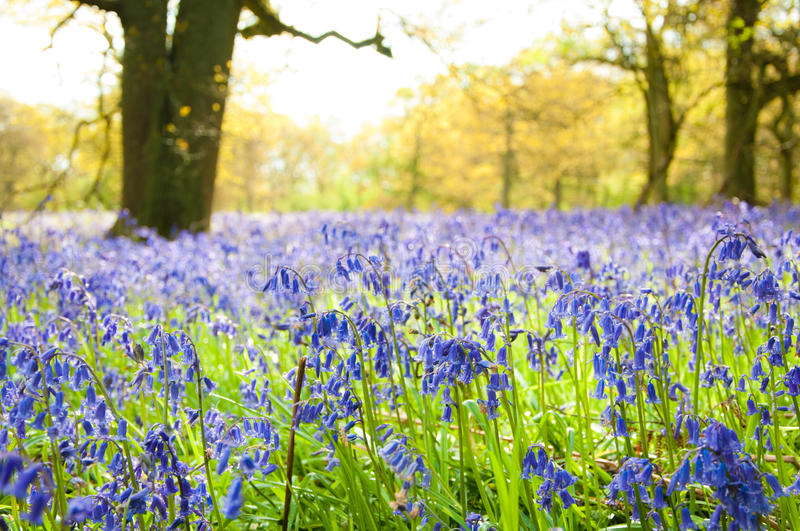 Download Bluebells in the forest. stock photo. Image of nature - 24821162