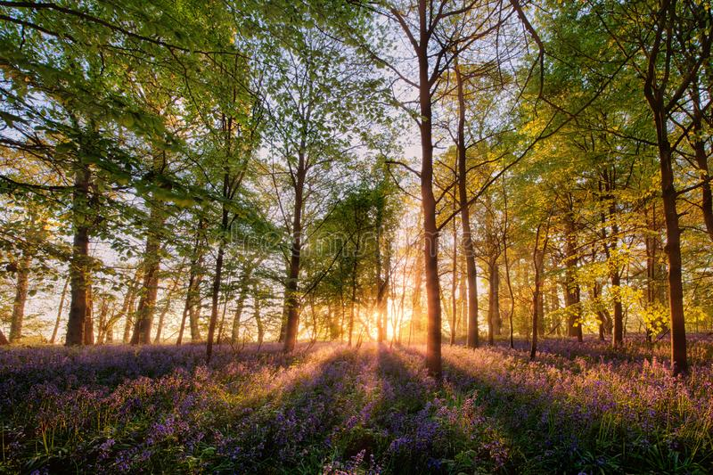 Bluebells forest at sunrise in English landscape. Magical bluebell woodland in spring time. Sunrise forest scene with wild purple  flowers and sun rays through royalty free stock photos