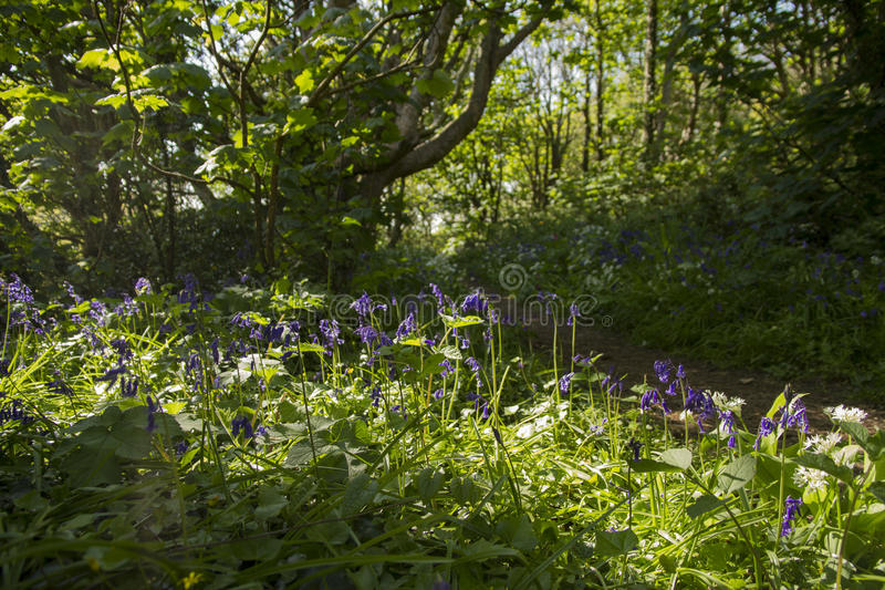 Bluebells in glade. Bluebells in a glade in Spring stock images