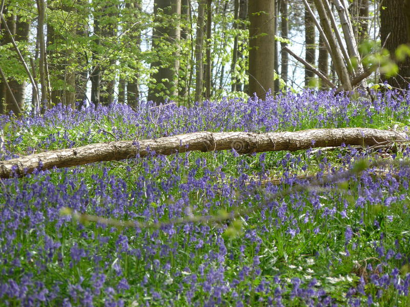 Bluebells in Hallerbosby Brussels! stock images