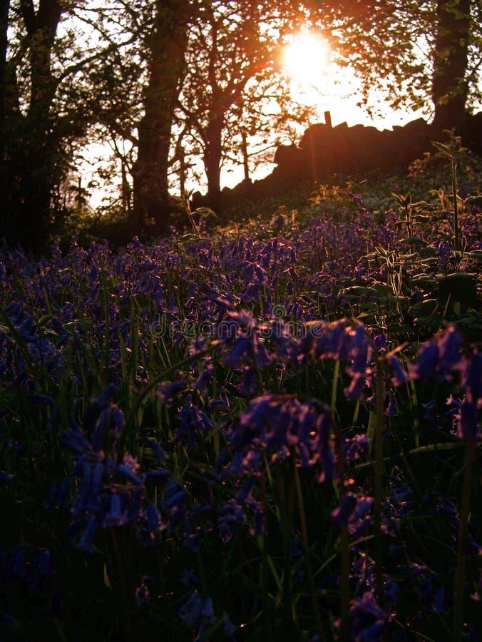 Bluebells im Holz lizenzfreie stockfotografie