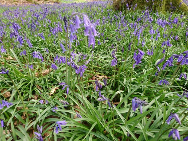 Bluebells kwiaty zdjęcie royalty free