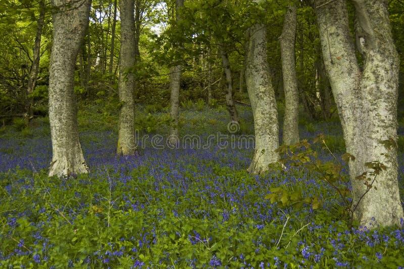 Bluebells in legno di Dunrobin, fotografie stock