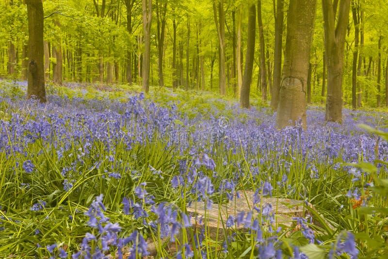 Bluebells nas madeiras ocidentais. fotos de stock