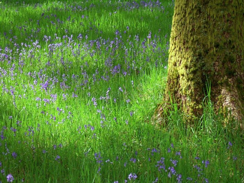 Bluebells near Staveley royalty free stock photo