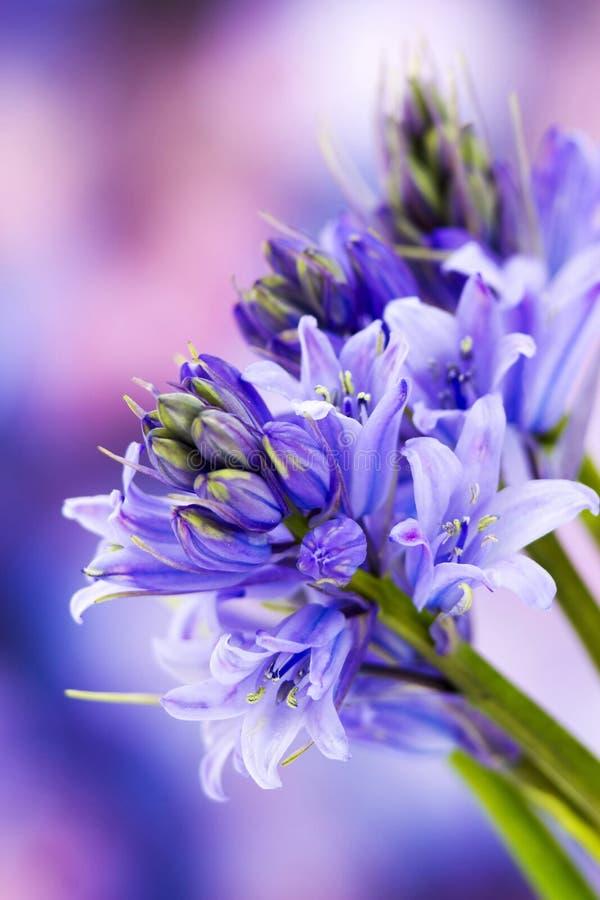 Bluebells (non-scripta de Hyacinthoides) image libre de droits
