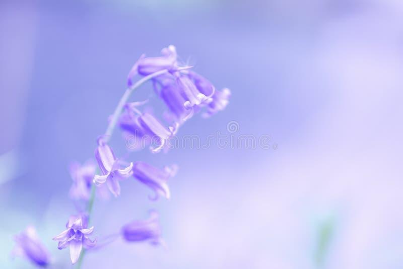 Bluebells okwitnięcie na lasowej podłodze w wiośnie obraz stock