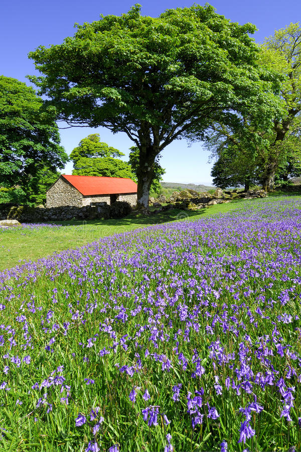 Download Bluebells And Red Roofed Barn Stock Image - Image: 13500379