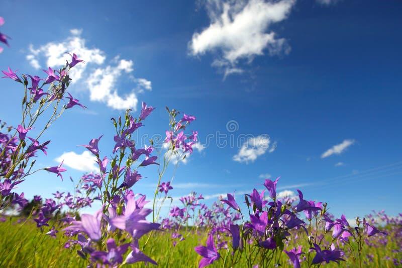 Bluebells am Sommer lizenzfreies stockbild
