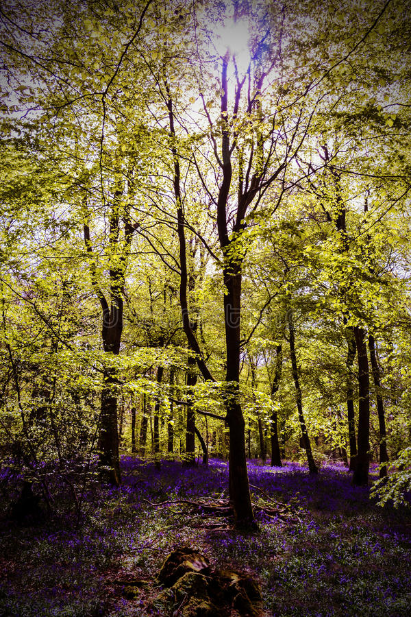 Bluebells Sun Trees. A picture of bluebells growing amongst the trees as the sun breaks between the branches. Picture taken at Abinger North Downs stock photos