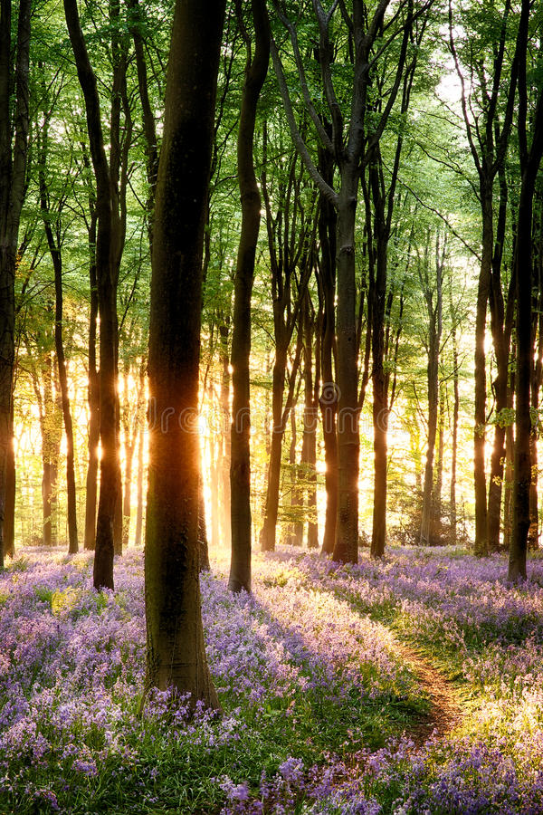 Bluebells in sunrise light royalty free stock photos