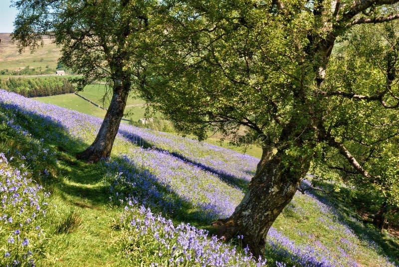 Bluebells tapissant une zone en vallées de Yorkshire photographie stock
