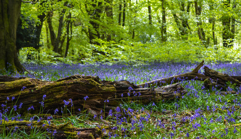Bluebells Trees - Old Branch. A picture of a carpet of Bluebells growing amongst an old log in the forest. Picture taken at Abinger North Downs royalty free stock photography
