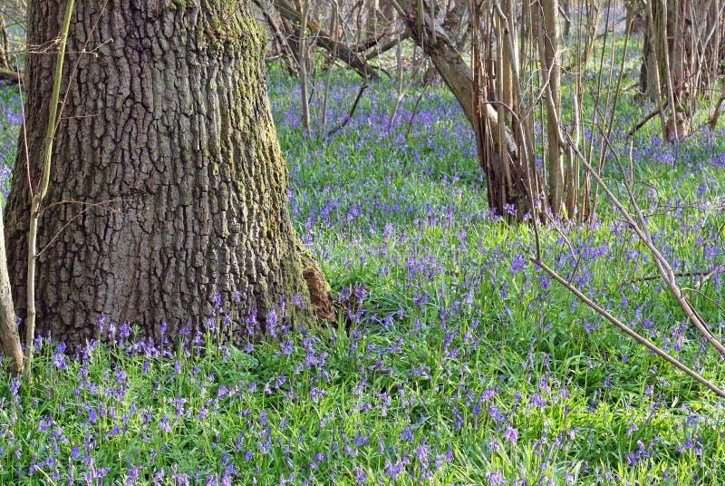 Bluebells in un legno immagini stock