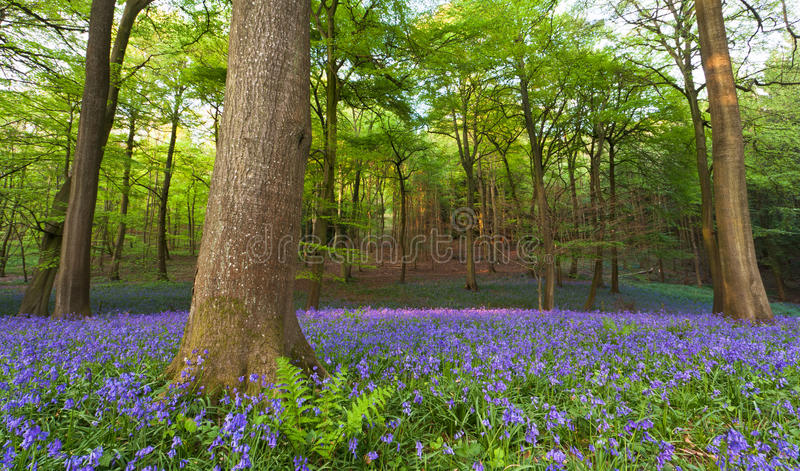 Bluebells in a wood at sunset royalty free stock images