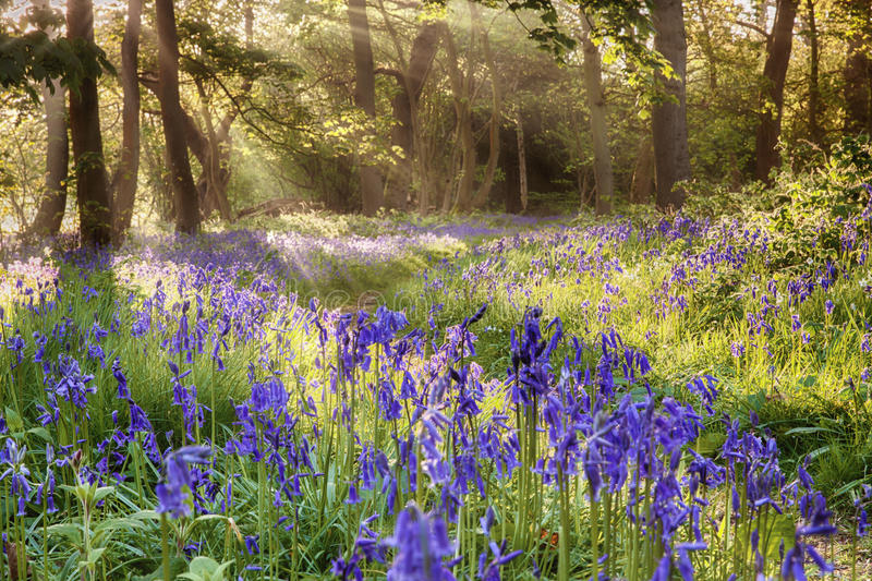 Bluebells woodland path with glowing sunrise light royalty free stock images