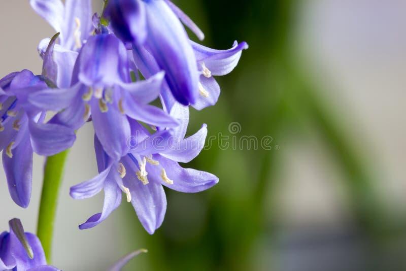 Bluebells z pączkami obrazy royalty free
