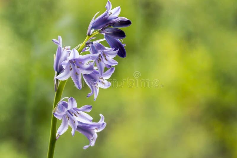 Bluebells z pączkami obraz stock