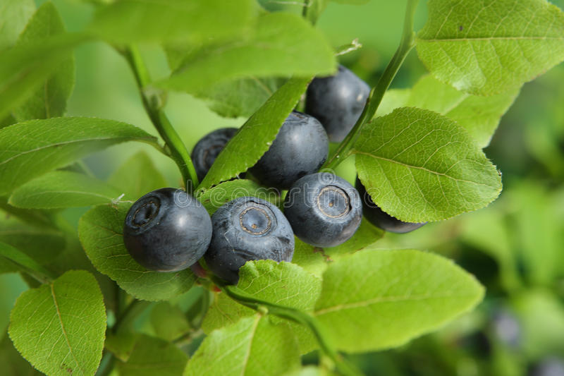Download Blueberries stock photo. Image of closeup, fragrance - 10158220