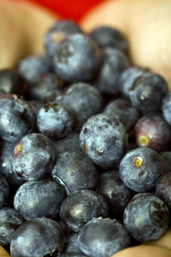 Download Blueberries stock photo. Image of yummy, blue, bunch - 25897710