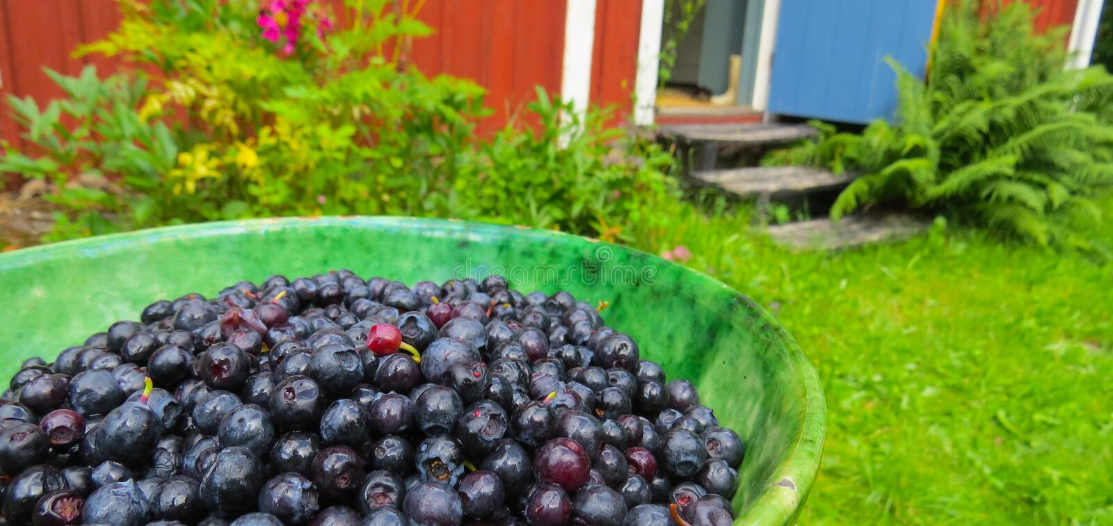 Blueberries in a bowl. Sweden. stock photo