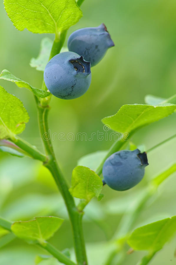 Blueberries On The Branch Royalty Free Stock Photos