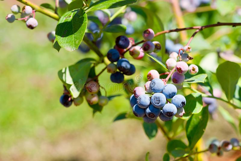Blueberries on the branch closeup royalty free stock photography