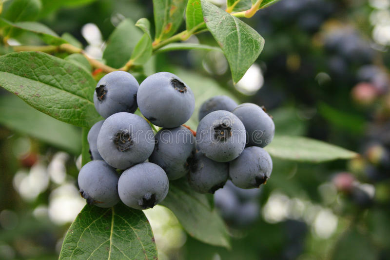 Blueberries on the bush stock photos
