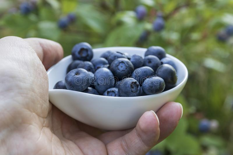 Blueberries - fmale hands holding ripe blueberries in bowl stock image