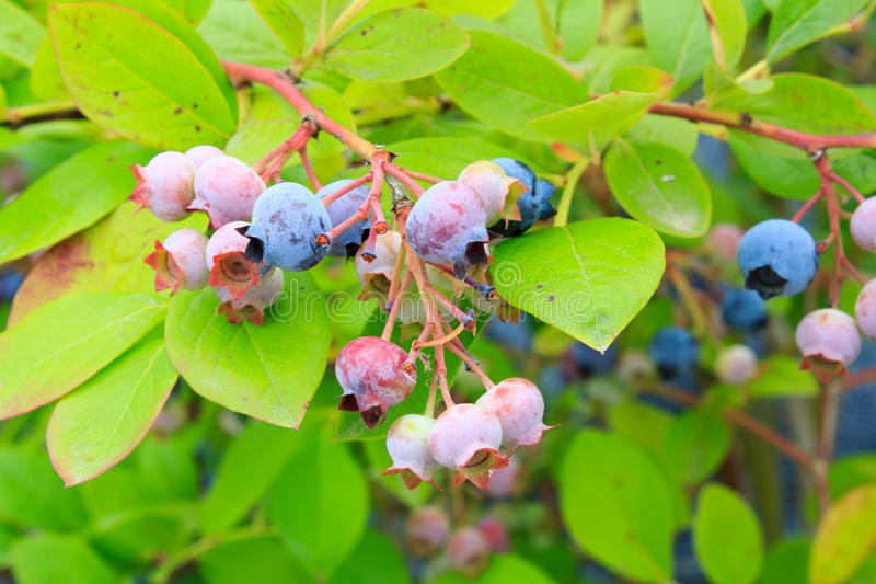 Download Blueberries stock photo. Image of nature, blueberry, leaves - 32363536