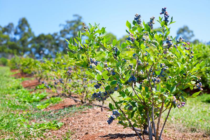 Blueberries planted in the row royalty free stock image
